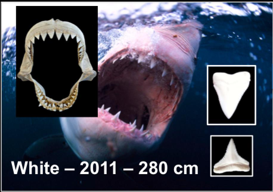 Projet ASAP (Anti-Shark Attack Project) (2016-Présent)